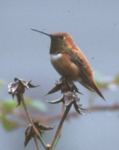 Schuylkill Co. -- Adult Male Rufous in Minersville