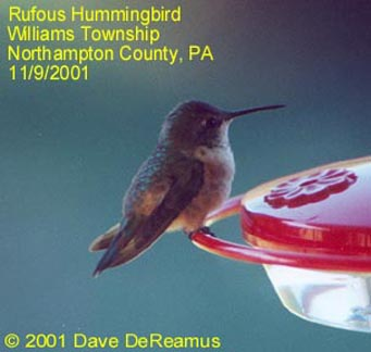 Northampton Co. -- AHY Female Rufous in Williams Twnshp - AK - on feeder