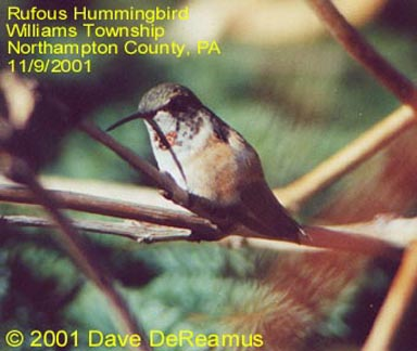 Northampton Co. -- AHY Female Rufous in Williams Twnshp - AK - perched