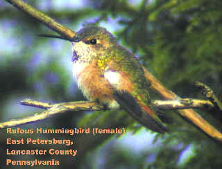 Lancaster Co. -- Adult Female Rufous in East Petersburg