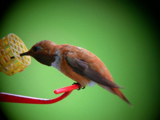 Erie Co. PA Adult Male Rufous - 'Rusty' closeup on feeder by Ben Coulter