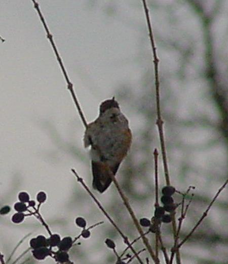 Albion Adult Female Selasphorus perched in shrub.
