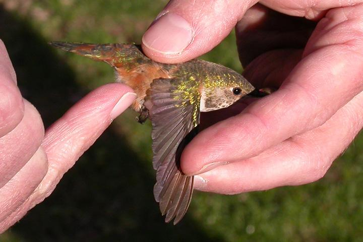 Washington Co. -- AHY Female Rufous in McDonald in-hand after capture